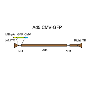 Replication-deficient adenovirus expressing GFP