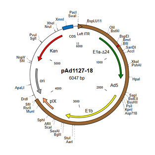 Shuttle plasmid for constructing adenovirus vectors with 24-bp deletion in E1a region