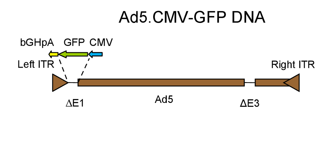 Genome of an Ad5 adenovirus expressing GFP under the control of a CMV promoter