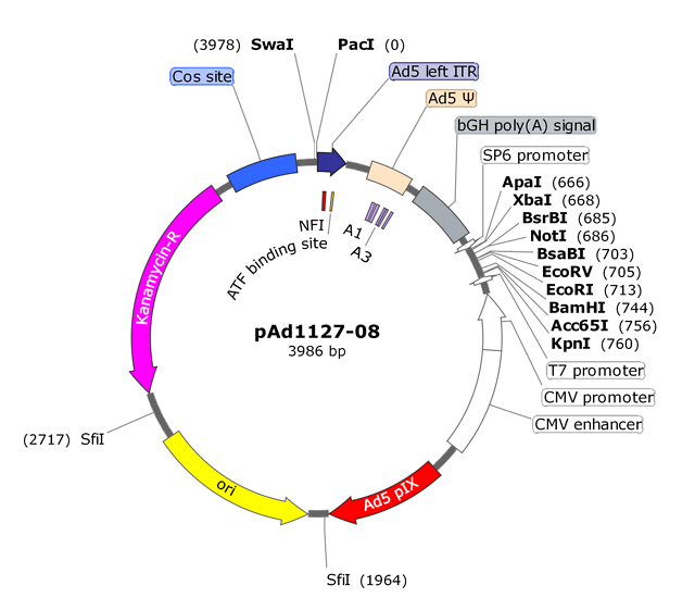 Shuttle plasmid for expressing heterologous genes from the E1 region