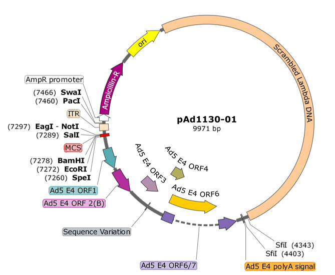 Shuttle plasmid for inserting heterologous promoters in front of the E4 region